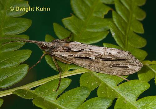 TR02-500z  Giant Casemaker Caddisfly or Rush Sedge Caddisfly, Phryganea cinerea