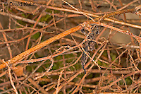 "0405-07oo  Ghost Mantis - Phyllocrania paradoxa ""Male Nymph"" - © David Kuhn/Dwight Kuhn Photography"