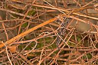 "0405-07oo  Ghost Mantis - Phyllocrania paradoxa ""Male Nymph"" - © David Kuhn/Dwight Kuhn Photography"