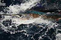 sailfish, Istiophorus platypterus, close up in water, Exmouth Western Australia, sportfishing