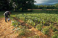 Man watering his organic vegetable garden.