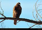 Dark Morph Red-tailed Hawk, Bosque del Apache Wildlife Refuge, New Mexico