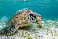 green sea turtle, Chelonia mydas, feeding on seagrass, Bird Island, Seychelles, Indian Ocean