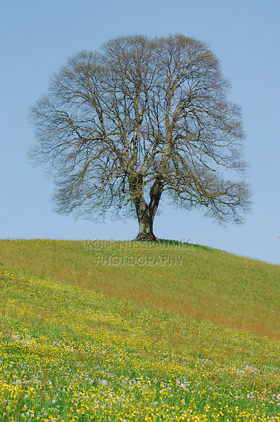 Linden tree (Tilia sp.), tree in spring, Switzerland