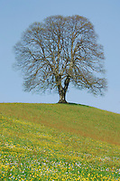 Linden tree (Tilia sp.), tree in spring, Switzerland