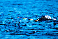 narwhal, Monodon monoceros, showing tusk, Canadian Arctic