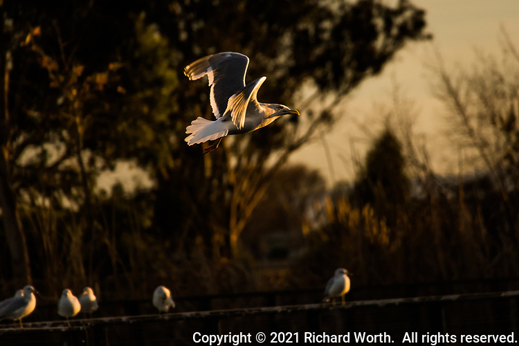 Golden late afternoon light bathes a gull in flight at the neighborhood park known as The Duck Pond.