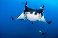 giant oceanic manta ray, Manta birostris, with remora, suckerfish, Remora sp., and scuba diver, Socorro Island, Revillagigedo Islands, Mexico, Pacific Ocean