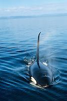 Orca or Killer Whale (Orcinus Orca)