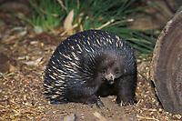 short-beaked echidna, aka spiny anteater, Tachyglossus aculeatus, Australia