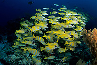 shoal of blue-striped snapper, Lutjanus kasmira Valenciennes, Aldabra Atoll, Natural World Heritage Site, Seychelles, Indian Ocean