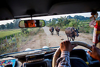 Buffalos walk down a road near the Panna Tiger Reserve in Madhya Pradesh.