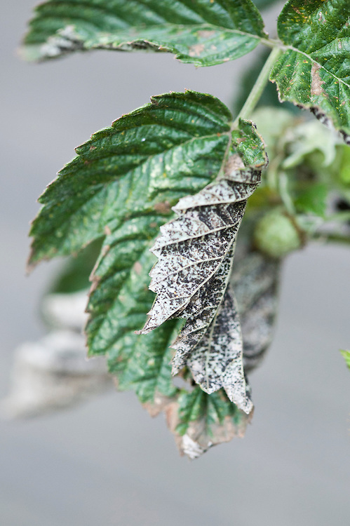 Black teliospore pustules of raspberry rust (Phragmidium rubi-idaei) on the underside of a leaf, mid October.