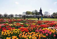Nederland Limmen 2018.  In Noord-Holland ligt de Hortus Bulborum. In de tuin staan meer dan 4000 soorten bloemen. De hortus, waarin voornamelijk tulpen en narcissen staan, is in 1928 opgericht. De Hortus Bulborum is een proeftuin, waar nieuwe soorten worden gekweekt.  Op de achtergrond de Protestantse kerk van Limmen. Foto Berlinda van Dam / Hollandse Hoogte