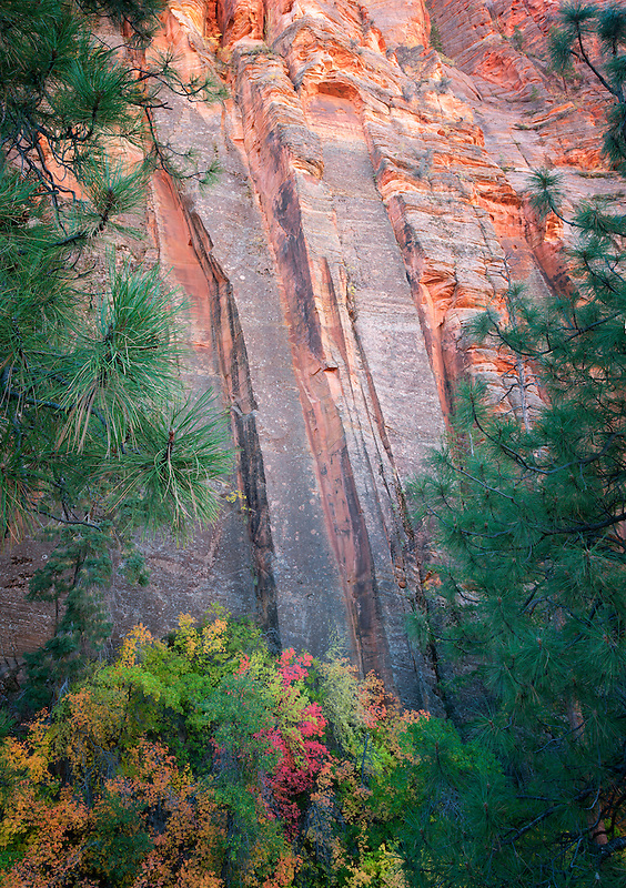Colorful rock face and fall colored maple trees. Zion National Park, Utah