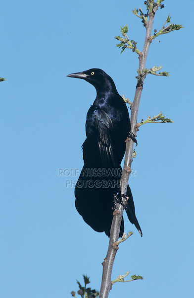 Great-tailed Grackle, Quiscalus mexicanus,male, New Braunfels, Texas, USA, April 2001