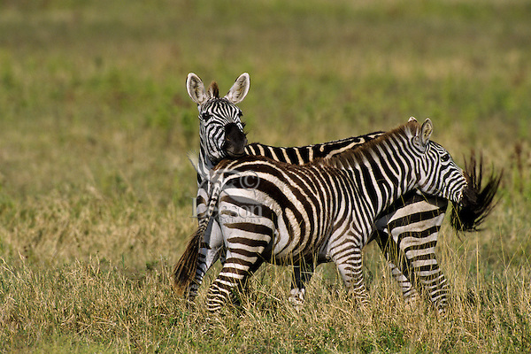 Burchell's Zebra or Plains Zebra (Equus burchelli), Africa.  Keeping flies off one anothers face by swishing tails.