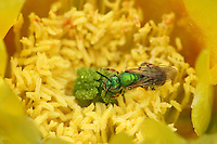Green Sweat Bees (Agapostemon) are among the most strikingly noticeable of our native bee species with their metallic green or blue-green sheen and exotic mix of colors. Seen here at the center of a new cactus bloom in May.