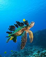 endangered species, green sea turtle, Chelonia mydas, being cleaned by yellow tang, Zebrasoma flavescens, gold-ring surgeonfish, Ctenochaetus strigosus, and endemic saddle wrasse, Thalassoma duperrey, Kona Coast, Big Island, Hawaii, USA, Pacific Ocean