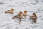 common merganser ducklings