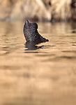 Close up of tip of trunk of Indian Elephant (Elephas maximus) while swimming. Kaziranga National Park, India