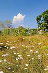 Wiese, Meadow, Porat, Krk Island, Dalmatia, Croatia. Insel Krk, Dalmatien, Kroatien. Krk is a Croatian island in the northern Adriatic Sea, located near Rijeka in the Bay of Kvarner and part of the Primorje-Gorski Kotar county. Krk ist mit 405,22 qkm nach Cres die zweitgroesste Insel in der Adria. Sie gehoert zu Kroatien und liegt in der Kvarner-Bucht suedoestlich von Rijeka.