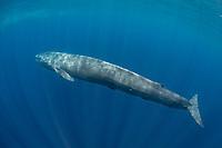 pygmy blue whale, Balaenoptera musculus brevicauda, a subspecies of blue whale, Balaenoptera musculus, Mirissa, Sri Lanka, Indian Ocean
