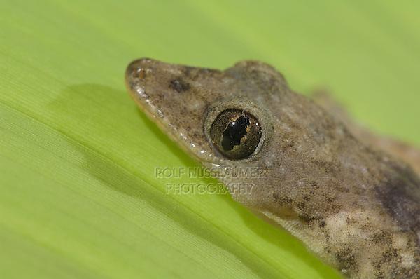 Indo-Pacific Gecko, Hemidactylus garnotii, adult on banana leaf, Central Pacific Coast, Costa Rica, Central America, December 2006