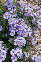 Aster laevis 'Bluebird' autumn flowering blue flowered perennial aka Symphyotrichum laeve 'Bluebird'