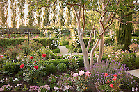 Crape Mrytle tree in spring mixed garden border in California country garden surrounded by Poplar trees