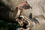 Squirrel goes nuts over two kestrel chicks perched at the entrance to it's home by Ross Forsyth