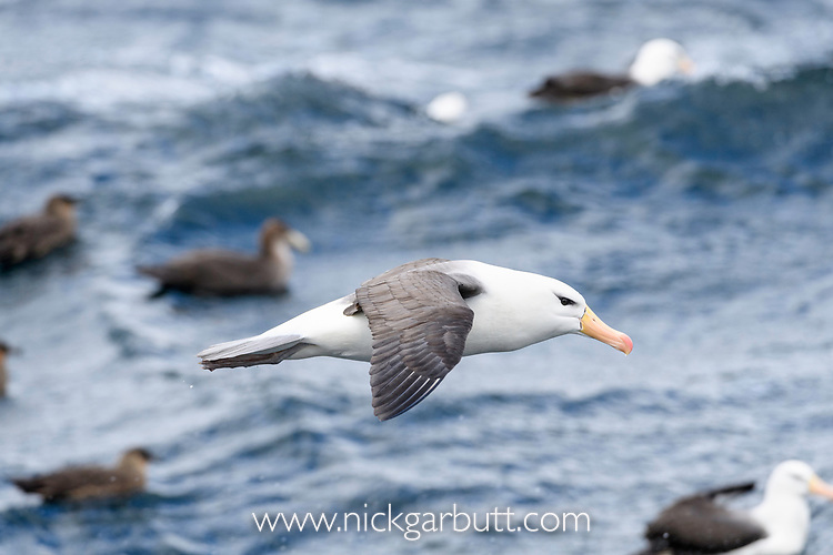 A black-browed albatross (Thalassarche melanophris) in flight. Straits of Magellan, Patagonia, Chile