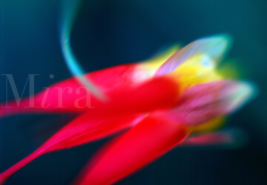 Close up of a backlit Red Columbine flower in soft focus.