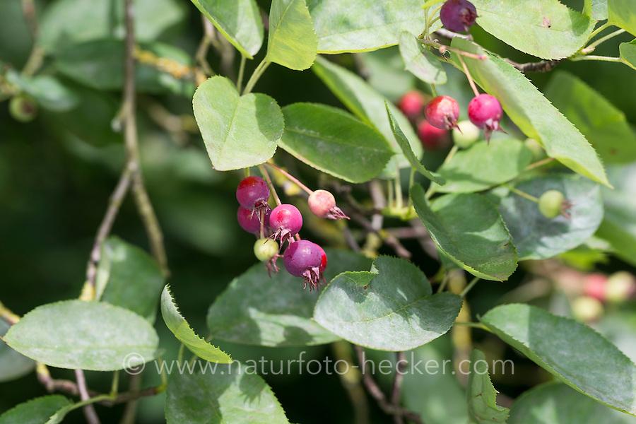 Kupfer-Felsenbirne, Kupferfelsenbirne, Felsenbirne, Früchte, Amelanchier lamarckii, Juneberry, Serviceberry