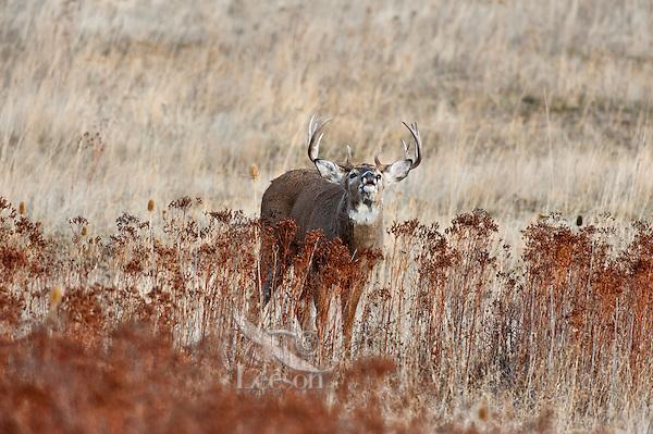 White-tailed Deer buck (Odocoileus virginianus) displaying flehmen behavior, Western U.S., Late Fall.