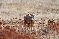 White-tailed Deer buck (Odocoileus virginianus) displaying flehmen behavior, Western U.S., Late Fall.