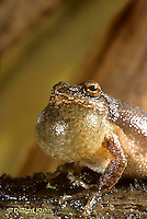 FR16-024a  Spring Peeper Tree Frog - croaking, calling  mate, note extended throat pouch -  Pseudacris crucifer, formerly Hyla crucifer