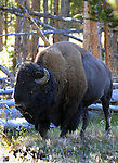 """American bison Bison bison is North American species of bison known as American buffalo, buffalo, bison, ox-like, french fur trappers hunt bison, bison or buffalo roamed grasslands of North America in massive herds, plains bison Bison bison bison, wood bison Bison bison athabascae,  hovid,    bison has a shaggy long dark brown winder coat and a lighter weight lighte brown summer coat, Bison can reach up to  feet 6 inchesweigh 2,500 pounds, herbivores, grazing grasses sedges and prairies, Montana, Native Americans, Indians, state located in the Western United States, Rocky Mountains, """"Treasure State,"""" """"Big Sky Country,"""" """"Land of the shining Mountains,"""" """"The Last Best Place,"""" Glacier National Park, Battle of Little Bighorn, Yellowstone National Park, Fine Art Photography by Ron Bennett, Fine Art, Fine Art photography, Art Photography, Copyright RonBennettPhotography.com ©"""