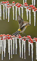 Yellow-rumped Warbler (Dendroica coronata),  adult landing on icy branch of Possum Haw Holly (Ilex decidua) with berries, Hill Country, Texas, USA