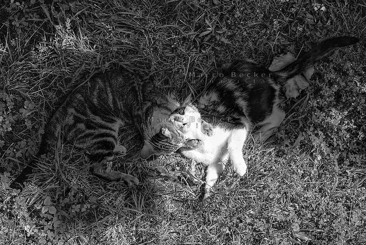 Due gatti giocano sul prato, uno morde l'altro --- Two cats playing on the lawn, one biting the other