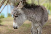Newborn Donkey<br /> Coral Bay<br /> St. John<br /> US Virgin Islands