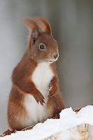 Europäisches Eichhörnchen, im Winter bei Schnee, Sciurus vulgaris, European red squirrel