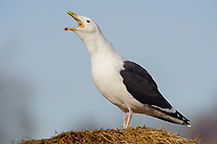 """Adult Great Black-backed Gull (Larus marinus) vocalizing. Bird is producing the """"Long Call"""", consisting of several repeated notes produced while bird lowers and then elevates head. Tompkins County, New York. December."""