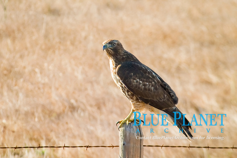 Red-tailed hawk Buteo jamaicensis) central california.