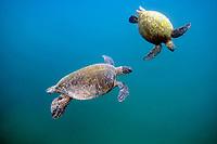 Green Sea Turtles, Chelonia mydas, Kaneohe Bay, Oahu, Hawaii, USA