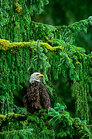 521040319 a wild adult bald eagle hailaeetus leucocephalus perches in a a rain drenched fir tree in a temperate rainforest in southeast alaska