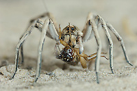 Wolf Spider, Lycosidae, adult feeding on cricket, Willacy County, Rio Grande Valley, Texas, USA