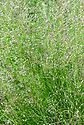 Sporobolus heterolepis, early August. A North American ornamental grass commonly known as Prairie dropseed.
