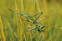 Große Sägeschrecke, Weibchen mit Beute, Saga pedo, Predatory bush cricket, Predatory bush-cricket, Spiked Magician, female, Tettigoniidae