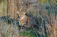 Wild Bobcat (Lynx rufus) along edge of field in Central California.  December.  (Completely wild, non-captive cat.)